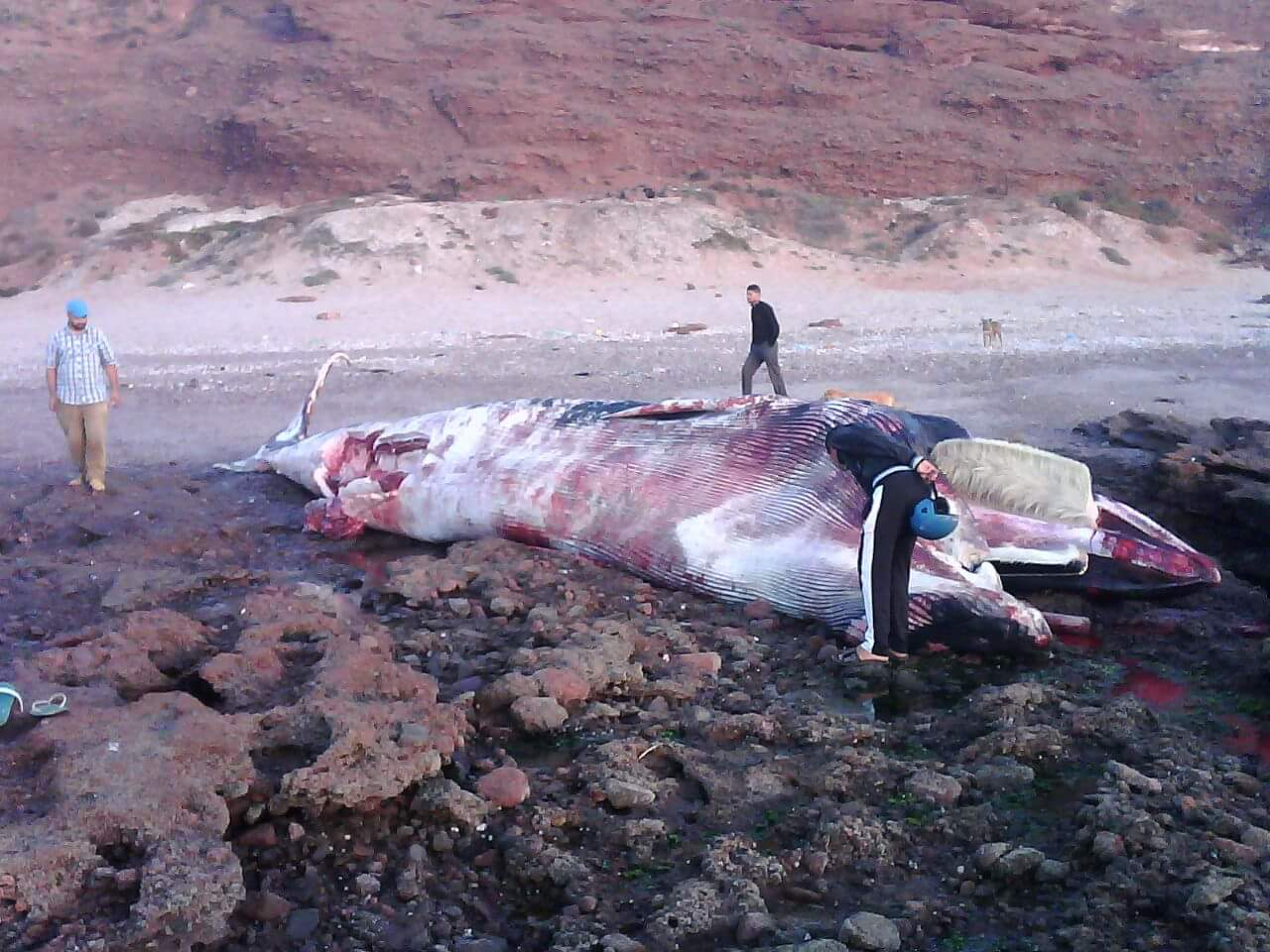 بالصور: العثور على حوت ضخم بشاطئ بسيدي افني