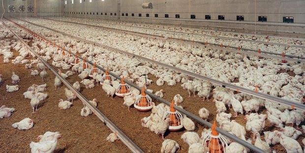 """ال """"APV"""" تنفي نفوق عدد من الدواجن بسبب وباء إنفلونزا الطيور"""