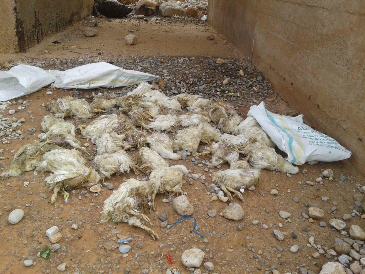 جمعية حماية البيئة – أولاد جرار تدق ناقوس خطر رمي الدجاج النافق قرب التجمعات السكنية