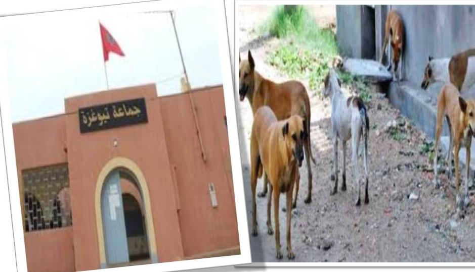 الكلاب المسعورة تنشر الهلع وسط ساكنة تيوغزة … و المسؤولون في خبر كا
