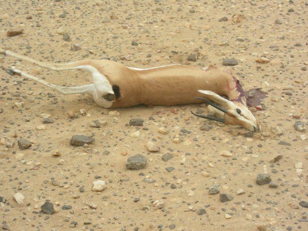 توقيف شخصين متورطين في صيد الغزلان بنواحي تيزنيت