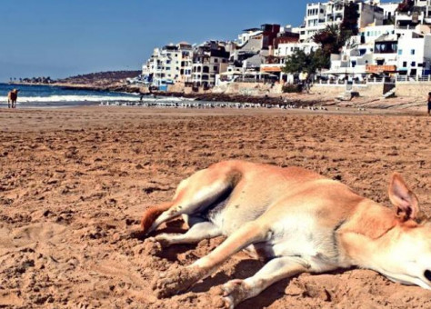 """جمعيات إيطالية تراسل الملك بشأن """"مجزرة قتل الكلاب الضالة"""" بأكادير"""