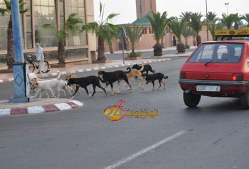 صور لجحافل الكلاب الضالة تغزو شوارع تيزنيت